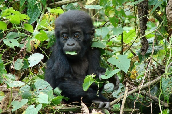 You may get to view a baby gorilla while trekking during your stay at Clouds Mountain Gorilla Lodge. © Uganda Safari Company