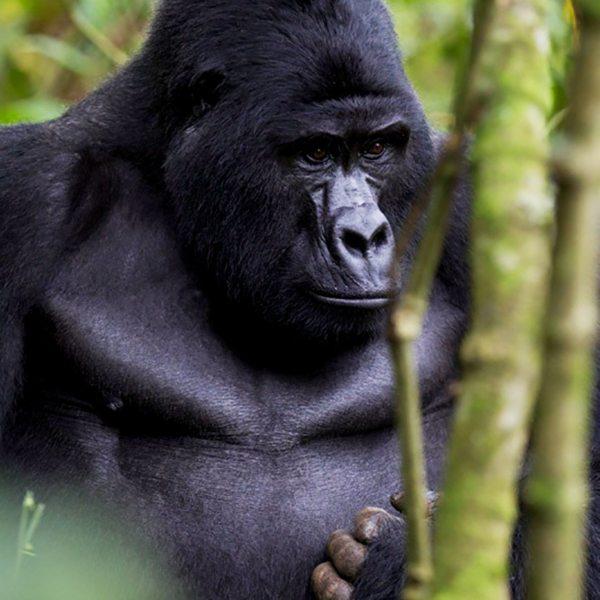When male gorilla mature, they get taller and develop male characteristics. © Sanctuary Retreats