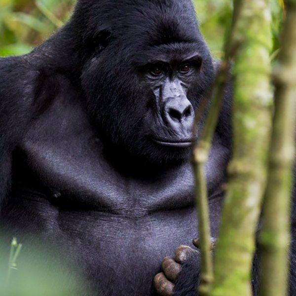Gorilla often have very human-like expressions, like this contemplative creature near Clouds Mountain Gorilla Lodge. © Uganda Safari Company