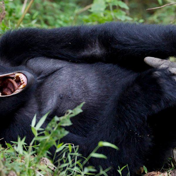 You will witness all sorts of odd behaviour when gorilla trekking in Bwindi. © Uganda Safari Company
