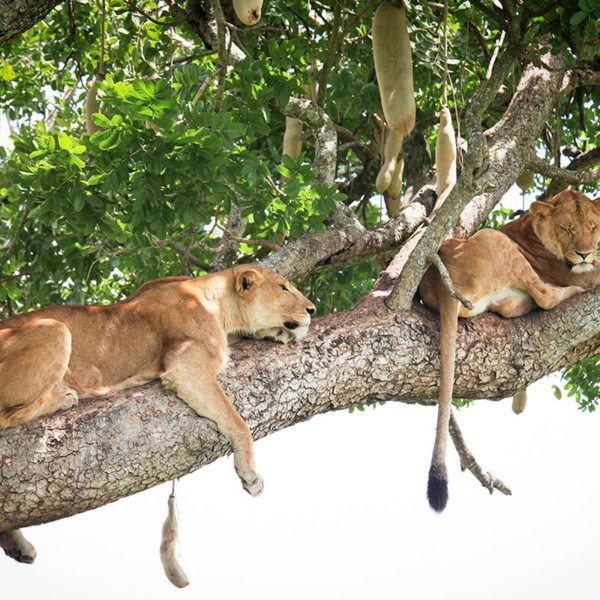 Lion in a sausage tree is a quintessential sight that's possible to see in the Kidepo Valley. © Uganda Safari Company