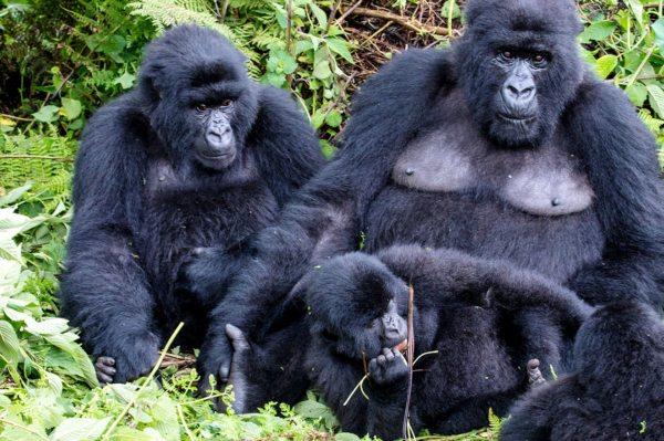 Luxury safaris in Uganda will allow you to see mountain gorilla.