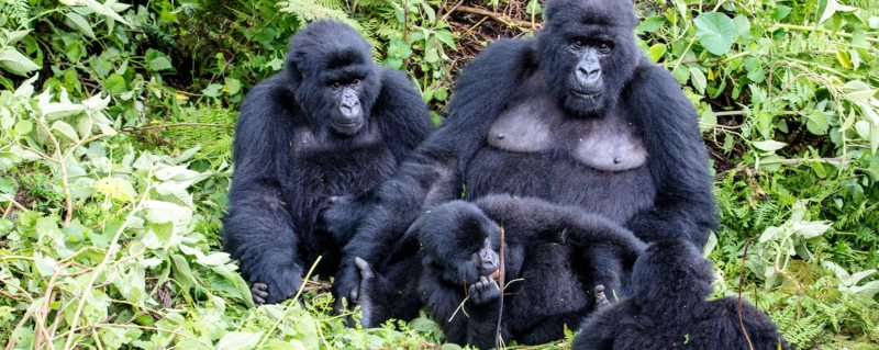 Luxury safaris in Uganda will allow you to see mountain gorilla.