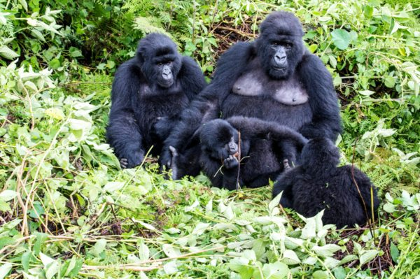 You might see a gorilla family near Clouds Mountain Gorilla Lodge.