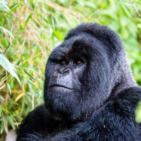The silverback is named for the silvery grey hairs that grow when the male matures.