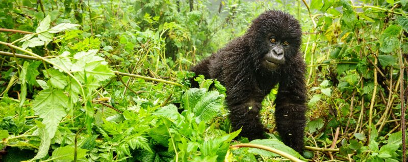 There's plenty to see and do on safari in Uganda, including going gorilla trekking.