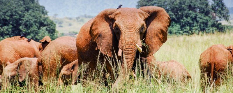 Big game like elephant can be found on luxury safaris in Kidepo Valley National Park.