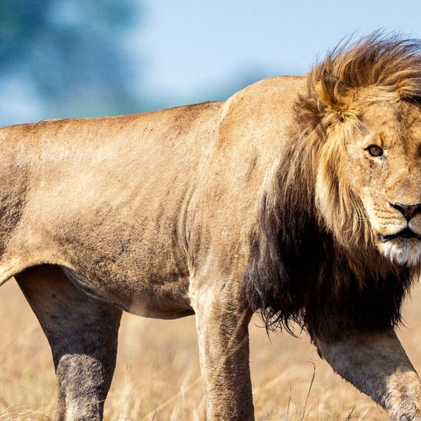The Busanga Plains near Busanga Bush Camp are home to lion.