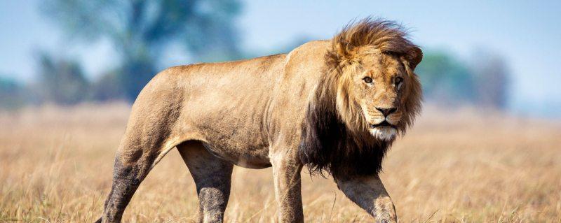 The Busanga Plains near Busanga Bush Camp are home to lion.