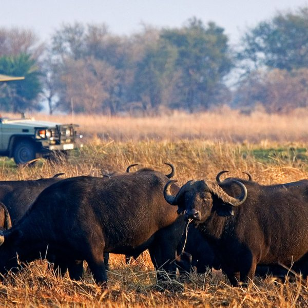 Busanga safaris are full of buffalo.