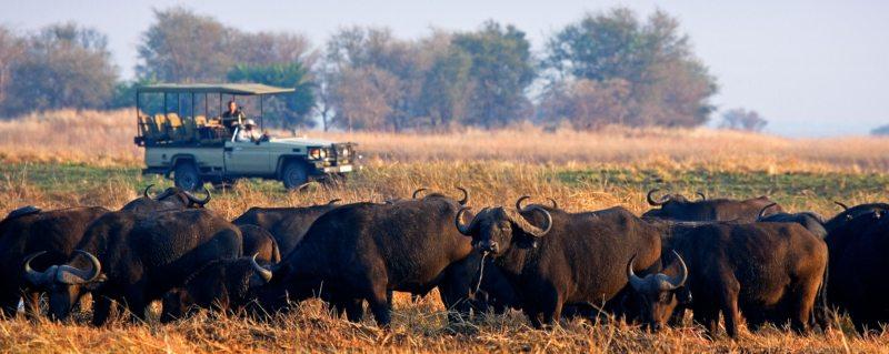 Busanga safaris are full of buffalo.