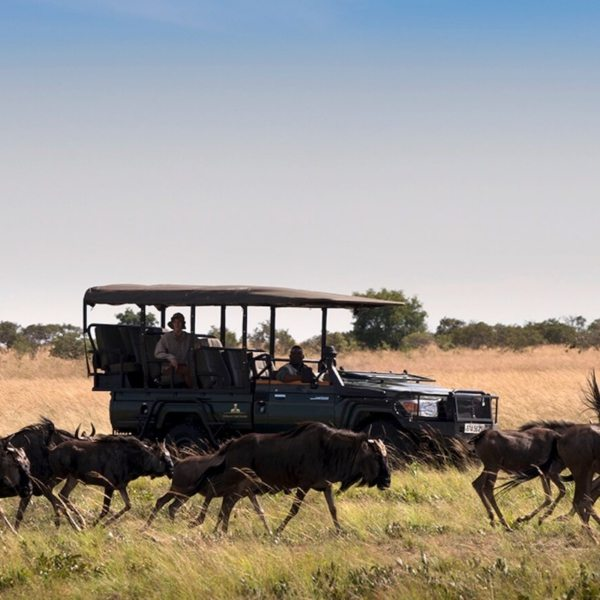 Drive next to cantering wildebeest during the migration in Zambia.