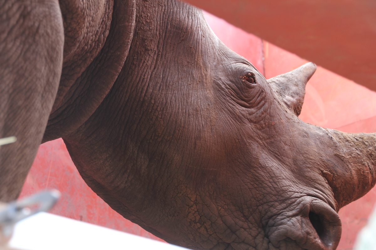 Rhinos Without Borders | Once in the container, the rhino is ready to be transported to a holding pen.