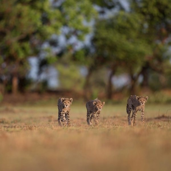 Cheetah are growing in numbers near King Lewanika Lodge. © Time + Tide