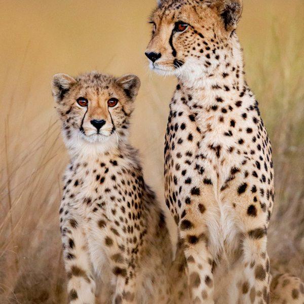 Cheetah are at home on the Liuwa Plains, near King Lewanika Lodge. © Time + Tide
