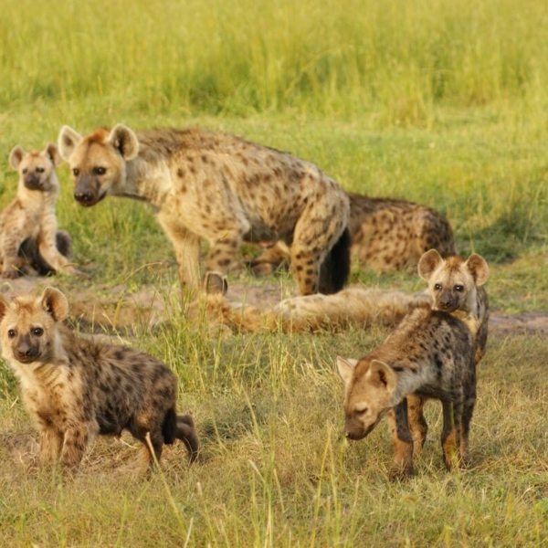 King Lewanika Lodge is famed for its hyena, which hunt in 50-strong packs. © Time + Tide