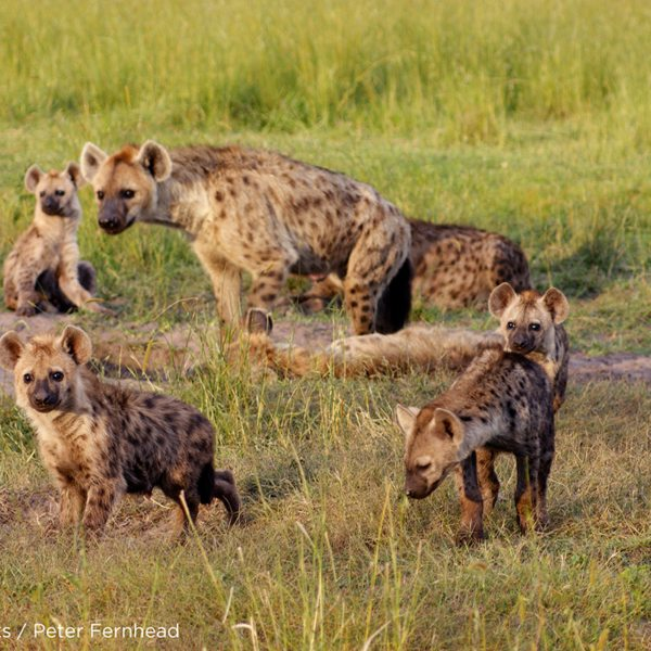 King Lewanika Lodge is famed for its hyena, which hunt in 50-strong packs. © Norman Carr Safaris