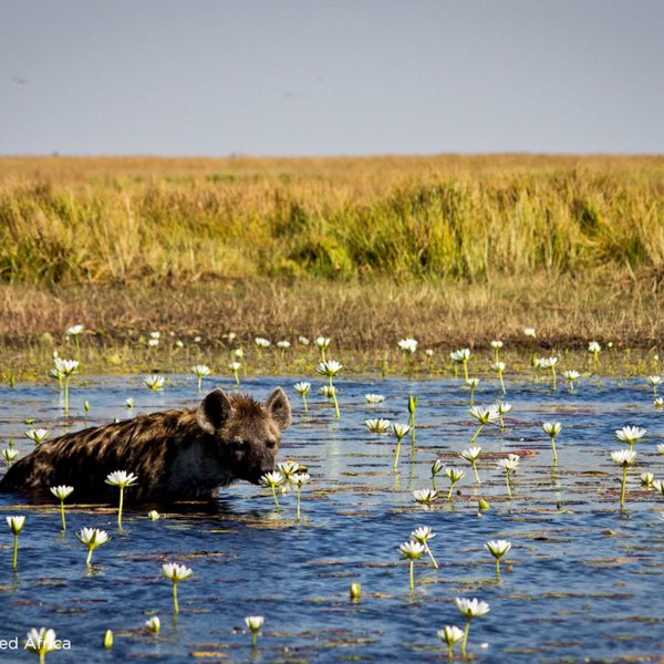 You'll see many lovely sights during the migration in Zambia, like this hyena smelling a flower. © Time + Tide