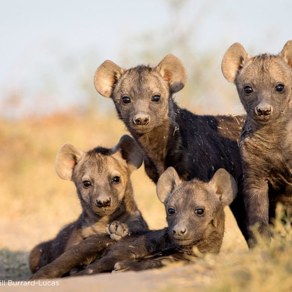 The area surrounding King Lewanika Lodge has plenty of hyena. © Time + Tide
