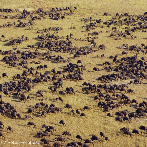 The Liuwa Plains wildebeest migration is extraordinary to see. © Norman Carr Safaris