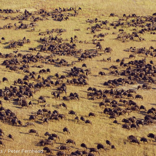 Visitors to King Lewanika Lodge can see the local wildebeest migration. © Norman Carr Safaris