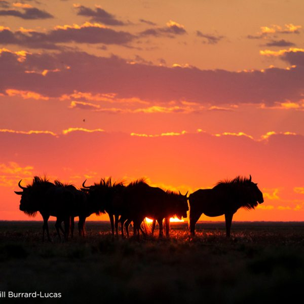 The wildebeest migration at Liuwa Plains is magnificent at sunset. © Time + Tide