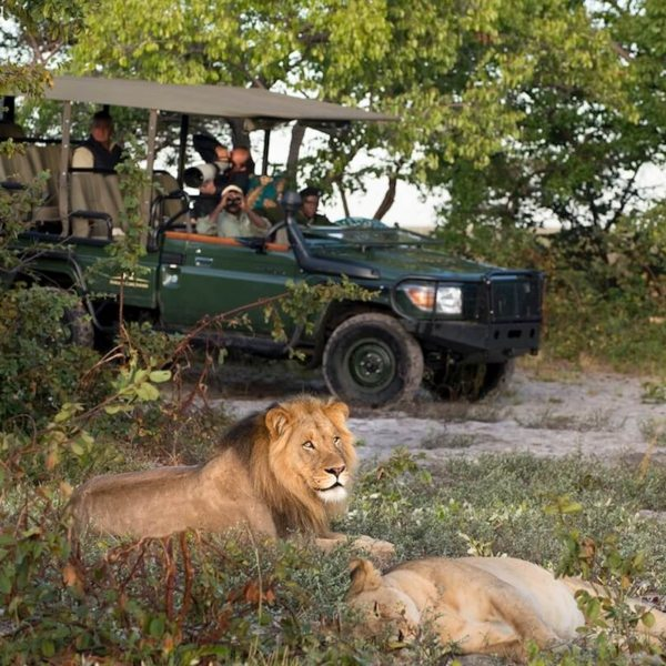 The celebrated Liuwa Lion can be seen on game drives from King Lewanika Lodge. © Time + Tide