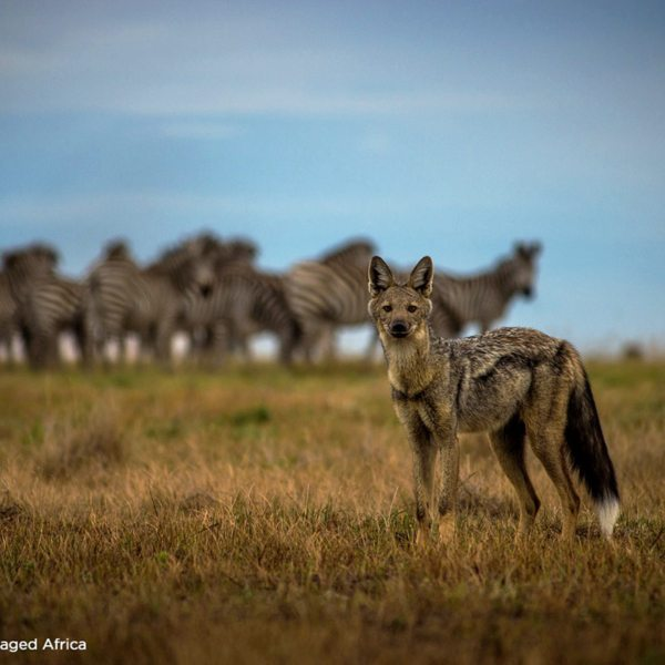 Keep an eye out for side-striped jackal at King Lewanika Lodge. © Time + Tide