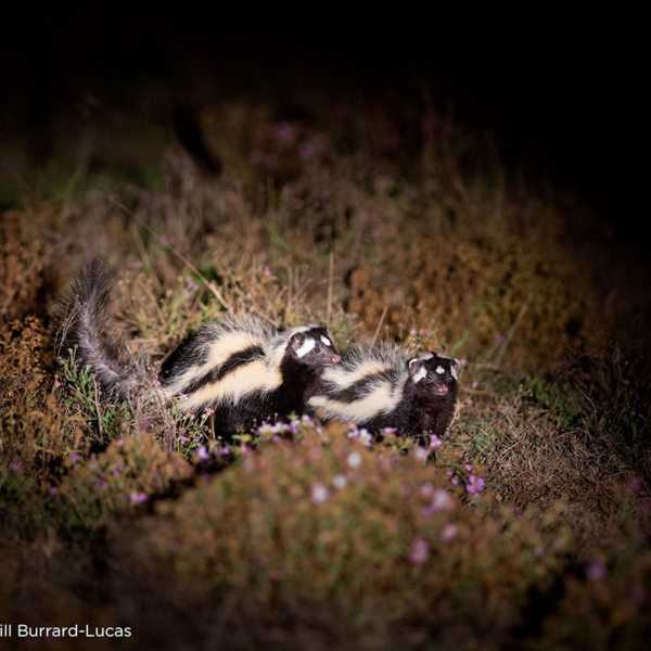 Night drives from King Lewanika Lodge will let you see nocturnal critters, like skunk. © Time + Tide