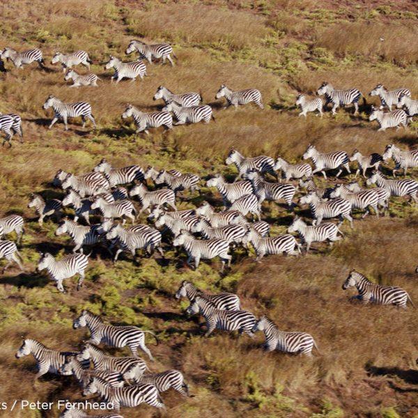 The migration in Zambia includes zebra. © Time + Tide