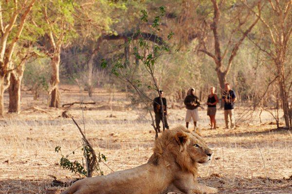 You might see lion on walking safaris from Old Mondoro. © Classic Portfolio