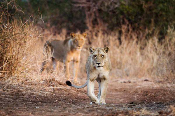 Lion roam the lands near Tena Tena. © Robin Pope Safaris
