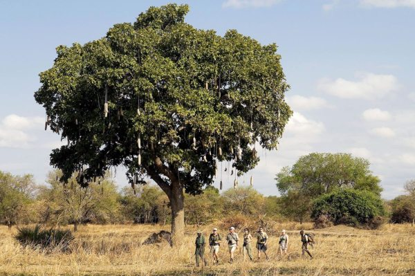 You'll see the famous sausage trees during your Zambia walking safari. © Robin Pope Safaris