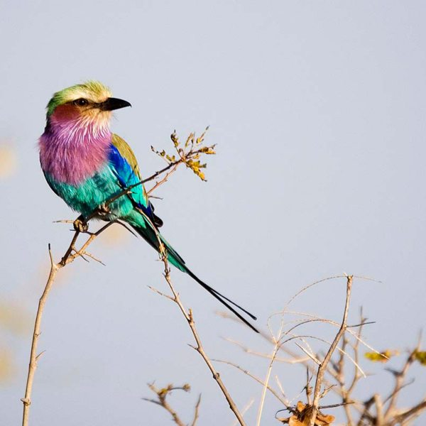 You might see a lilac-breasted roller during your Zambia walking safari. © Robin Pope Safaris