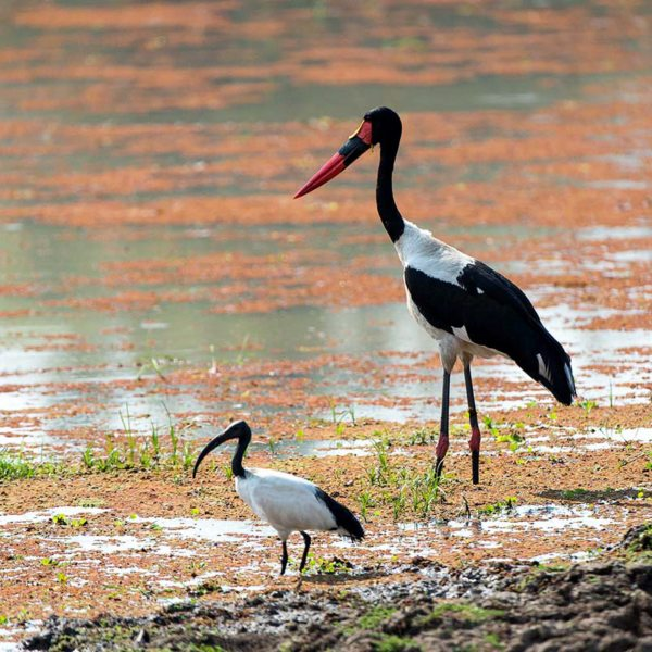 A Zambia walking safari in South Luangwa will take you to the home of saddle-billed storks. © Robin Pope Safaris