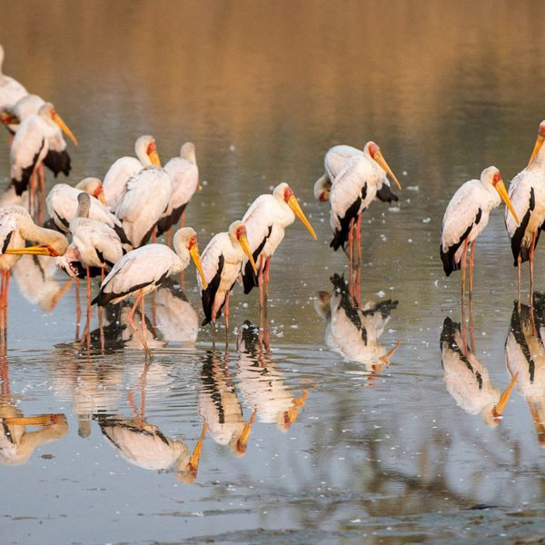 Yellow-billed storks can be found in South Luangwa. © Robin Pope Safaris