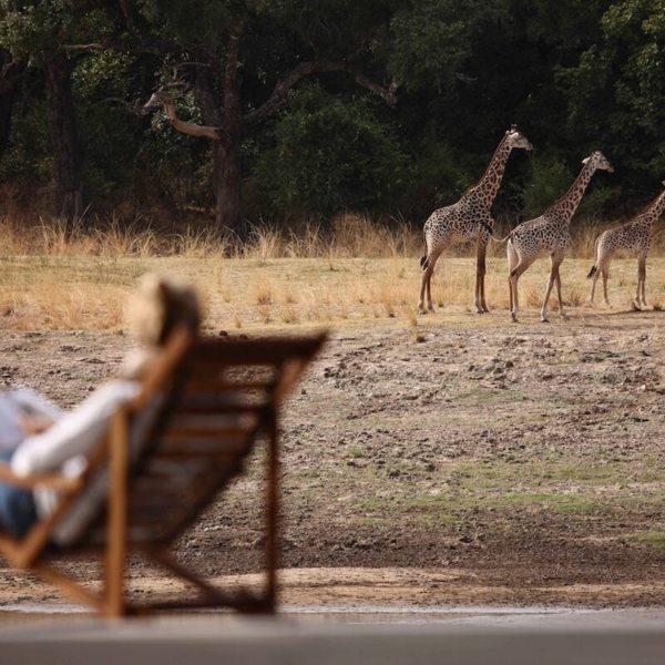 Giraffe come close to camp at Chinzombo. © Time + Tide