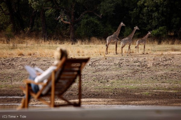 Giraffe come close to camp at Chinzombo. © Time + Tide