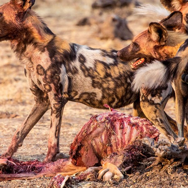 You'll likely get to see wild dog on a luxury Liuwa Plains safari.