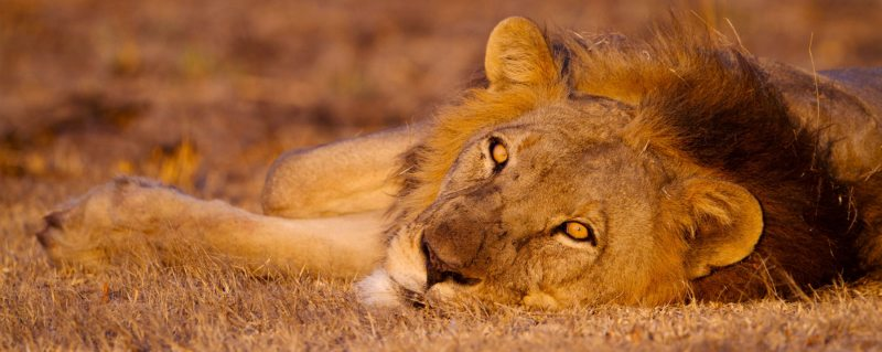 Lion will likely feature on your luxury Kafue safari.