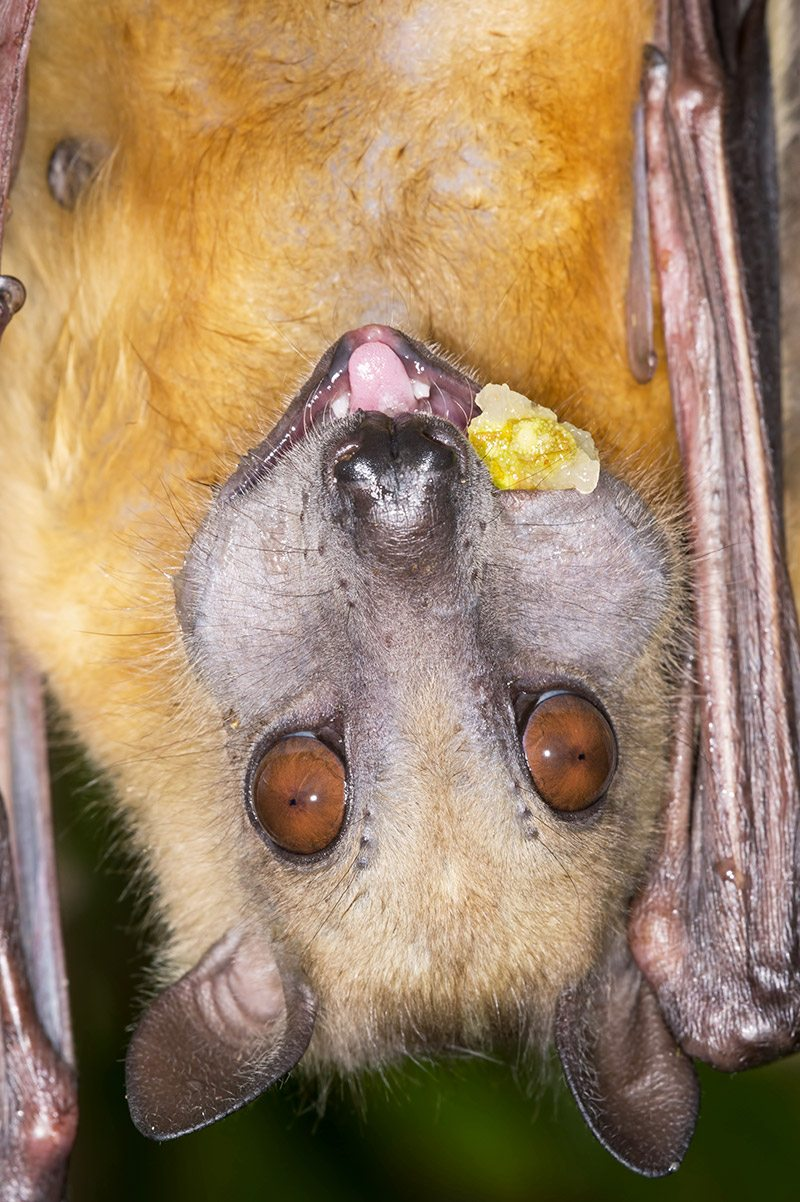 experience the kasanka bat migration in zambia art of safari