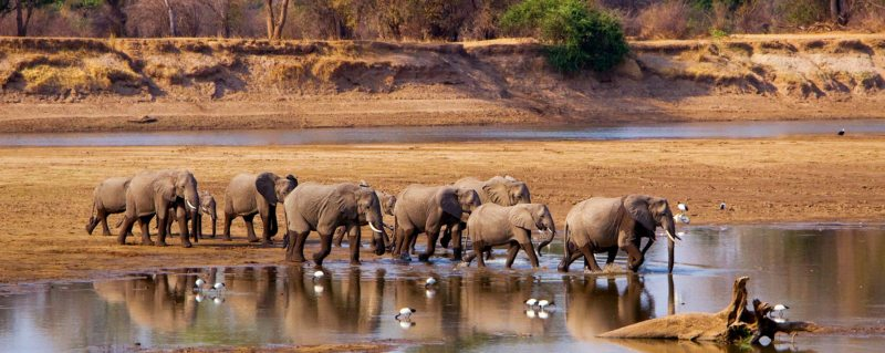 A luxury South Luangwa safari is typified by the scene of elephant crossing the Luangwa River.