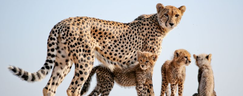 Phinda Private Game Reserve is home to cheetah.