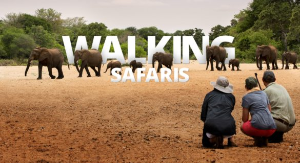 Walking during your African safari is an authentic way to see the wild.