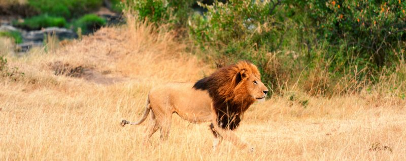 Going on safari allows you the privilege of seeing a lion in the wild.
