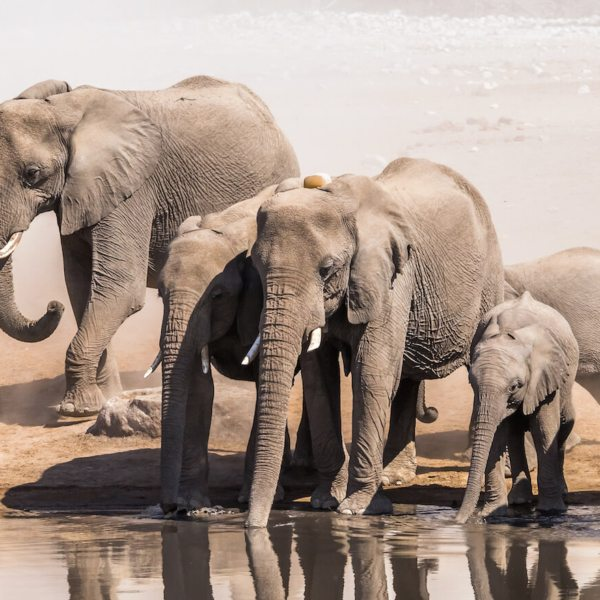 Art of Safari | September Wallpaper | Elephants Drinking At Waterhole