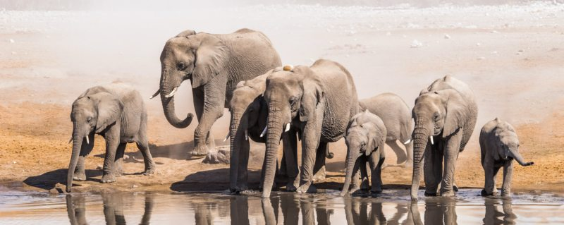 Art of Safari | September Wallpaper | Elephants Drinking At Waterhole