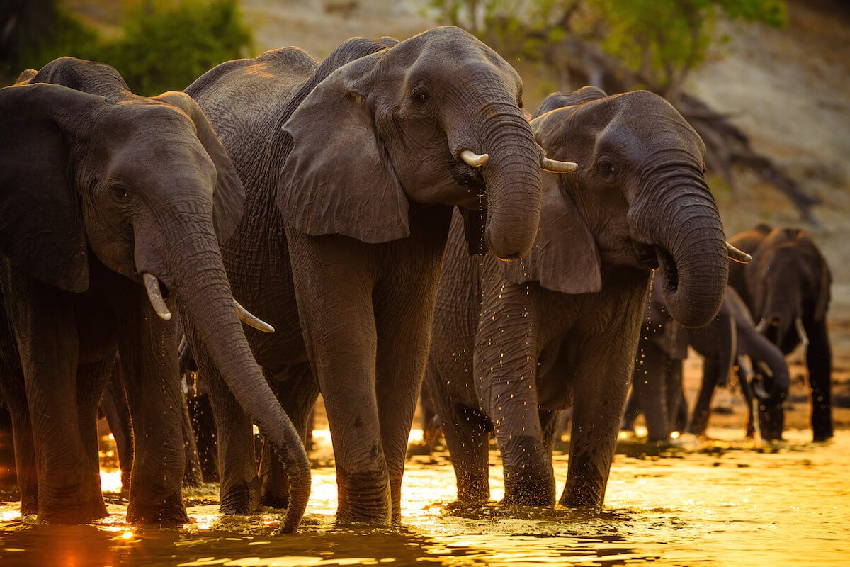 The Chobe River attracts herds of thirsty elephant as Botswana's dry season progresses.