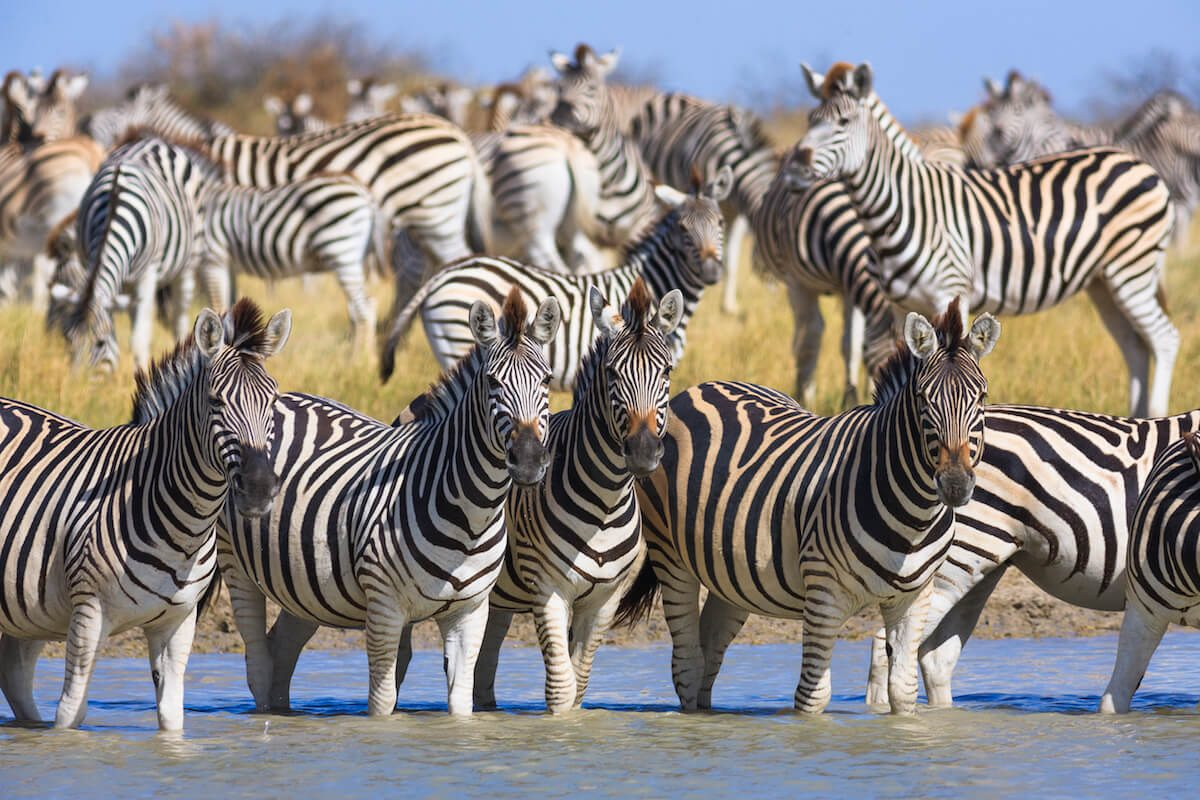 In Botswana's wet summer months, zebra migrate to the Makgadikgadi Pans, now shallow lakes.