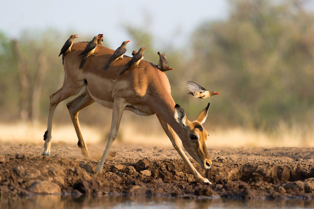 Water dictates where animals roam in Botswana.